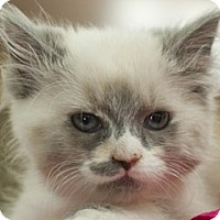 Domestic Shorthair Kitten for adoption in Great Falls, Montana - Clara