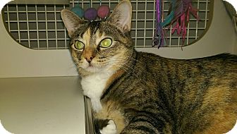 Domestic Shorthair Cat for adoption in Bridgeton, Missouri - Chloe