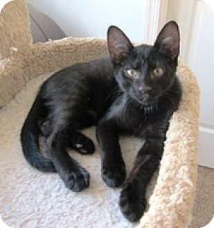 Domestic Shorthair Kitten for adoption in Lebanon, Pennsylvania - Donald