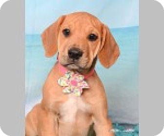 Labrador Retriever/Coonhound Mix Puppy for adoption in Pittsboro, North Carolina - Brooke