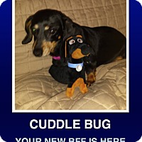 Dachshund Dog for adoption in Morrisville, Pennsylvania - Piper