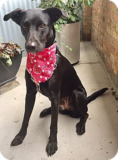 Labrador Retriever/Pointer Mix Dog for adoption in Palatine, Illinois - Stevie