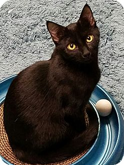 Domestic Shorthair Kitten for adoption in Jeannette, Pennsylvania - Batman