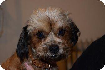 Yorkie, Yorkshire Terrier Mix Dog for adoption in Seattle, Washington - Zola Fox