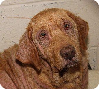 Labrador Retriever Dog for adoption in Towson, Maryland - Gracie #2 & Kiya