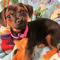Adopt A Pet :: TinkerBelle - Harrisonburg, VA