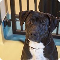 Adopt A Pet :: Sheba - Peace Dale, RI