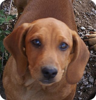 Hound (Unknown Type) Mix Puppy for adoption in Glenpool, Oklahoma - Copper