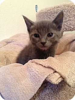 Russian Blue Kitten for adoption in Fountain Hills, Arizona - NUGGET