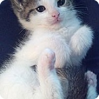 Adopt A Pet :: Daria - Sterling Hgts, MI
