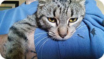 American Shorthair Cat for adoption in Bay City, Michigan - Tina
