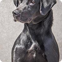 Adopt A Pet :: Amos - Livonia, MI