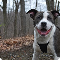 Adopt A Pet :: Marley - New Castle, PA