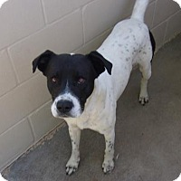 Pointer/Retriever (Unknown Type) Mix Dog for adoption in Jacksonville, Texas - Mac