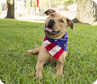 Labrador Retriever/Boxer Mix Dog for adoption in Houston, Texas - Felicity