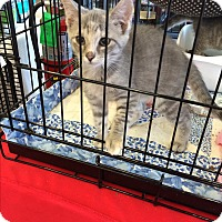 Adopt A Pet :: Kittens - Clay, NY
