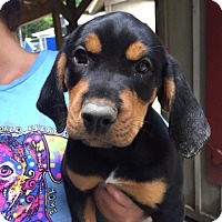Adopt A Pet :: Haley - Cashiers, NC