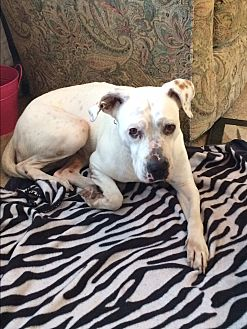 American Bulldog Dog for adoption in Jacksonville, Florida - Posh