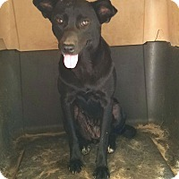 Labrador Retriever/Terrier (Unknown Type, Medium) Mix Dog for adoption in Cuero, Texas - Mariah