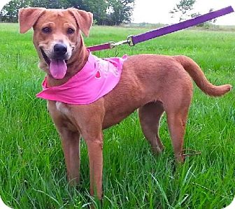 Labrador Retriever/Golden Retriever Mix Dog for adoption in Huntington, New York - Saddles - N