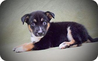 Husky/Shepherd (Unknown Type) Mix Puppy for adoption in Sacramento, California - Damon