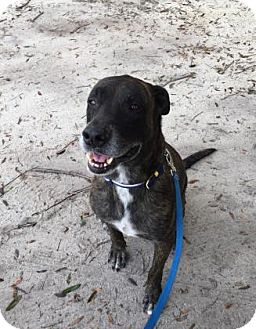 Great Dane Mix Dog for adoption in Gainesville, Florida - Dexter