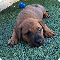Labrador Retriever Mix Puppy for adoption in Ft. Lauderdale, Florida - Reno