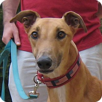 Greyhound Dog for adoption in Oak Ridge, North Carolina - Dusty