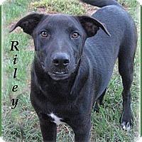 Adopt A Pet :: Riley-Really Sweet Dog - Marlborough, MA