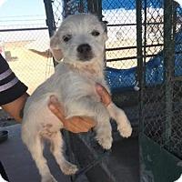 Adopt A Pet :: Brees - Lemoore, CA