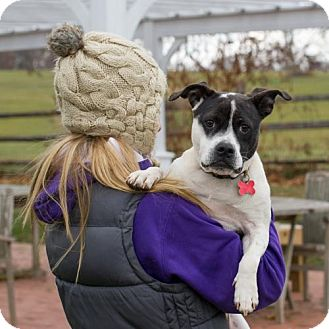 Boston Terrier/American Staffordshire Terrier Mix Dog for adoption in Potomac, Maryland - Gigi