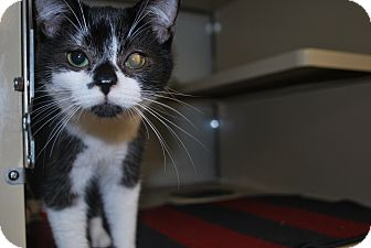 Domestic Shorthair Kitten for adoption in New Castle, Pennsylvania - Gatsby