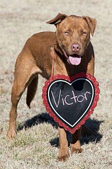 Pit Bull Terrier/Labrador Retriever Mix Dog for adoption in Broken Arrow, Oklahoma - Victor