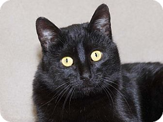 Domestic Shorthair Cat for adoption in Walnut, Iowa - Sammi