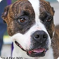 American Staffordshire Terrier/Boxer Mix Dog for adoption in Godfrey, Illinois - Cricket