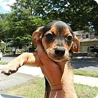 Adopt A Pet :: Jazzy - South Jersey, NJ