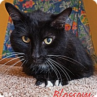 Domestic Mediumhair Cat for adoption in Converse, Texas - Blossom