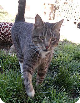 Domestic Shorthair Cat for adoption in San Pablo, California - SAMMY