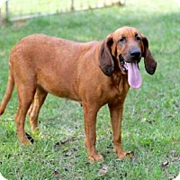 Redbone Coonhound Mix Dog for adoption in Andover, Connecticut - LAGATHA