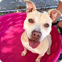 American Staffordshire Terrier Mix Dog for adoption in Wilmington, Delaware - Sandy