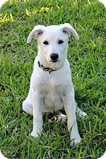 Labrador Retriever Mix Puppy for adoption in Brattleboro, Vermont - Puppy Snow