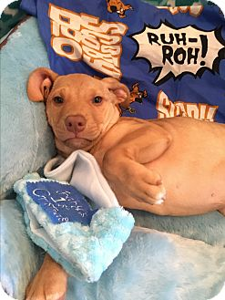 Labrador Retriever Mix Puppy for adoption in Portsmouth, New Hampshire - Colby-ADOPTION PENDING