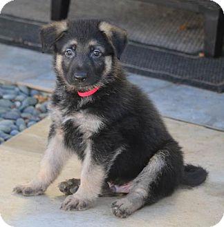 German Shepherd Dog Puppy for adoption in San Diego, California - Harper