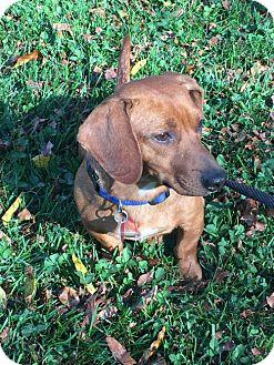 Dachshund Dog for adoption in Orangeburg, South Carolina - Adoption pending - Rusty2