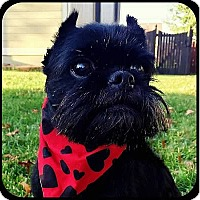 Affenpinscher Dog for adoption in Seymour, Missouri - GYPSY ROSALEE in Bryant, AR.