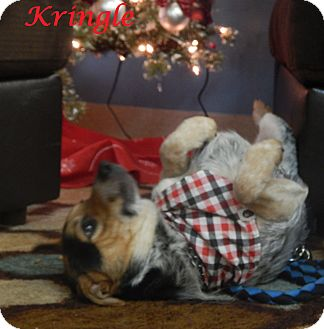 Australian Cattle Dog Mix Dog for adoption in Bucyrus, Ohio - Kringle