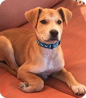 Labrador Retriever Mix Puppy for adoption in Denver, Colorado - Jasper