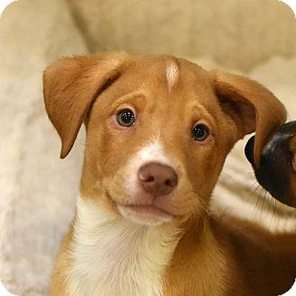 Shepherd (Unknown Type) Mix Puppy for adoption in Chicago, Illinois - Sammy