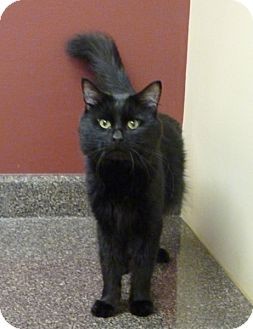 Domestic Mediumhair Cat for adoption in Chicago, Illinois - Eduardo