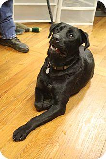 Labrador Retriever Mix Dog for adoption in Marietta, Georgia - Hershey